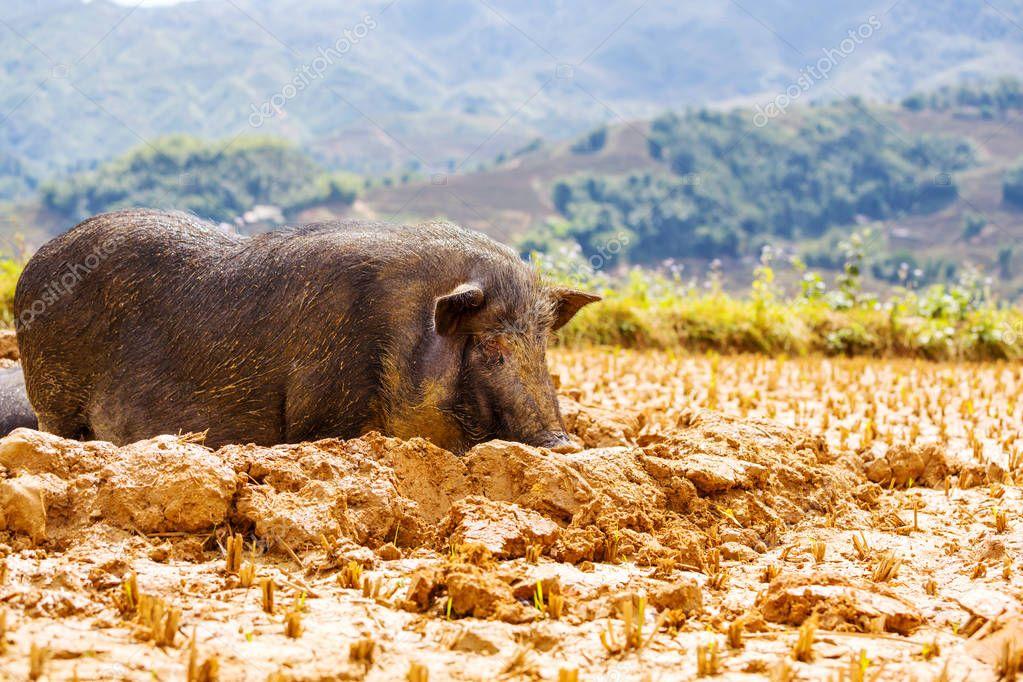 Vietnamese Pig in the mud