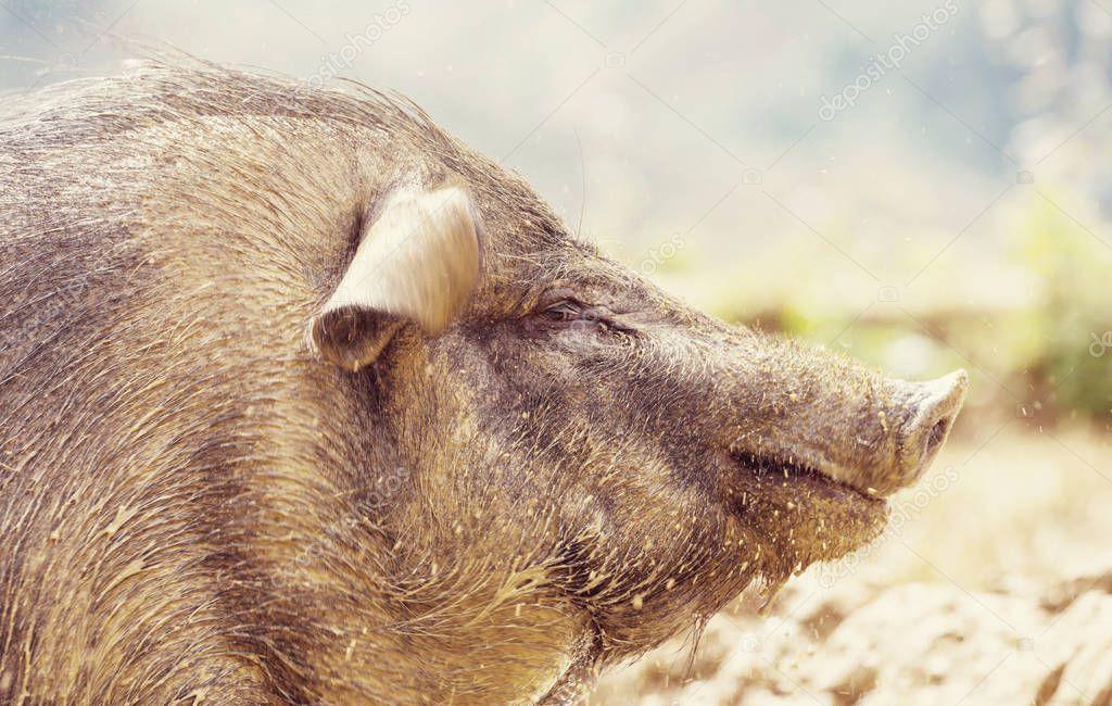 Vietnamese pig close up