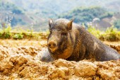 Fotografie vietnamské prasata v zeleném poli