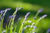 Lavendel Blumen hautnah