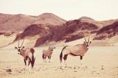 oryx in der namibischen Wüste