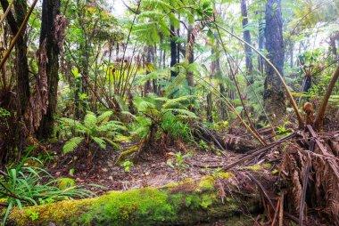 Gigant fern trees in rainforest, Hawaii island stock vector