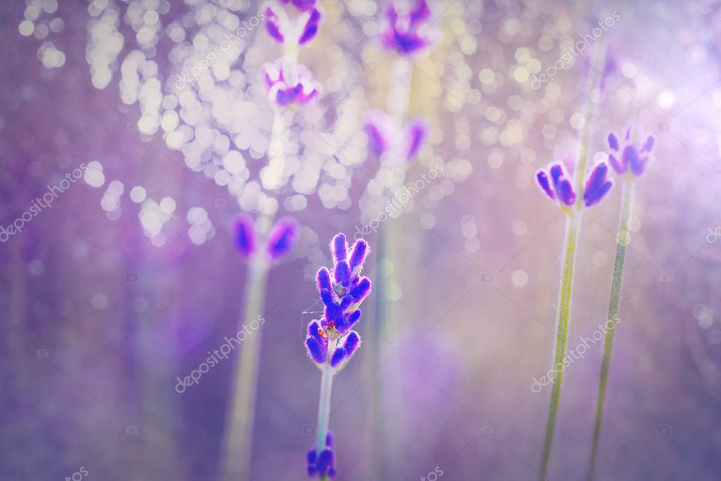 Flowers of Lavender on green background