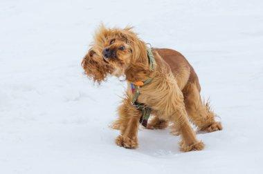 golden british cocker spaniel dog standing in the snow