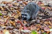 Photo North American raccoon close up