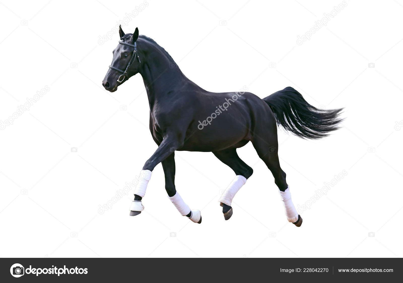 Running Black Horse Isolated White Stock Photo C Nastenok 228042270