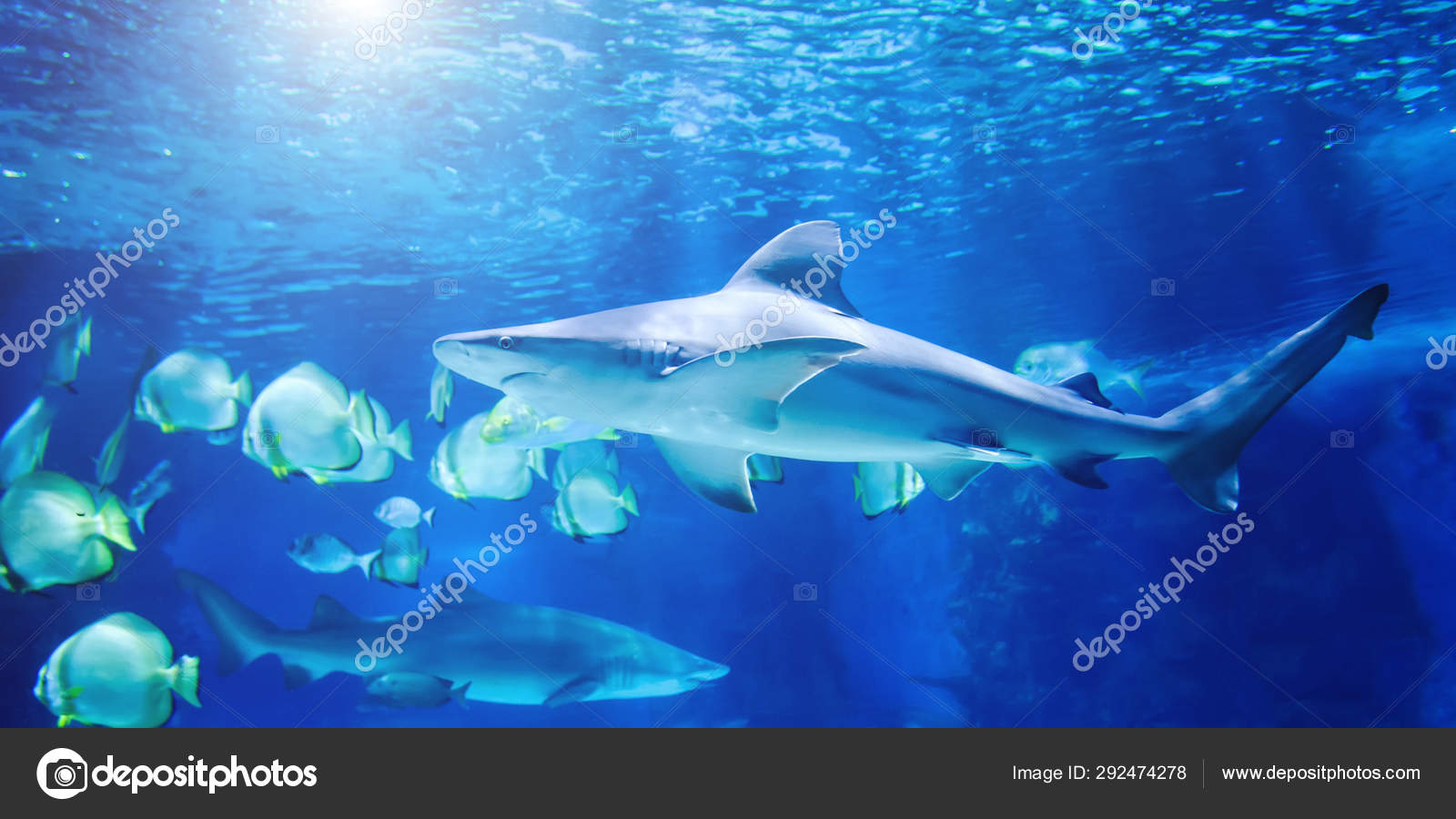 O Grande Tubarao Branco No Azul Grande Stock Photo C Art Man