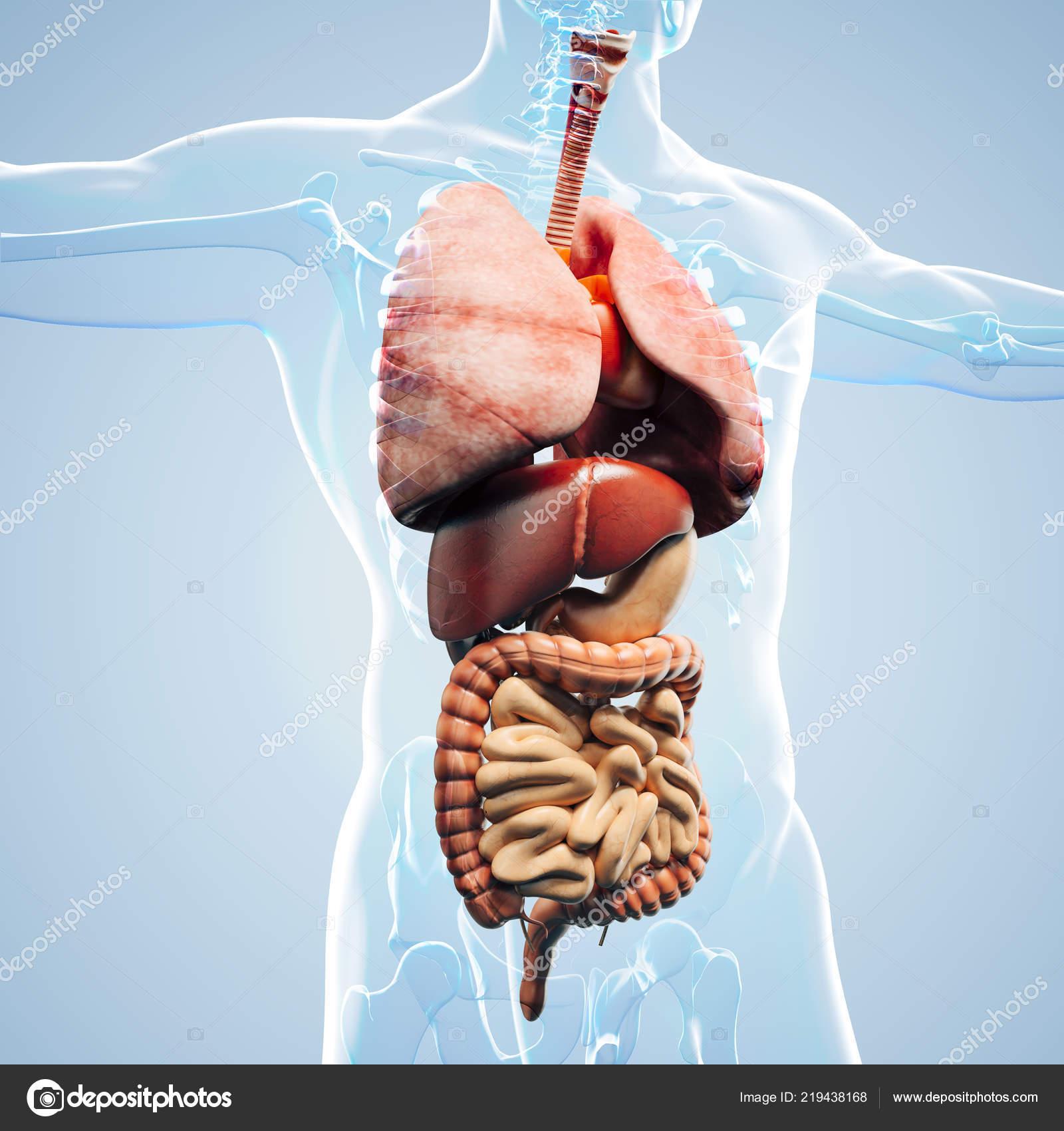 Man Render Anatomy Showing Internal Organs Stock Photo