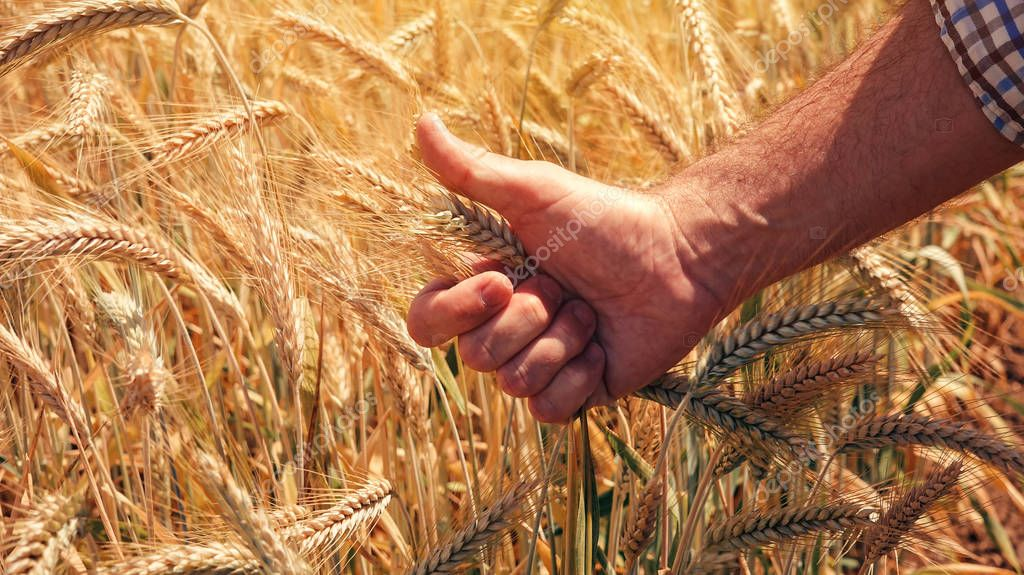 Satisfied farmer agronomist gesturing thumbs up after analyzing wheat growth in field during the control examination of cereal plant development