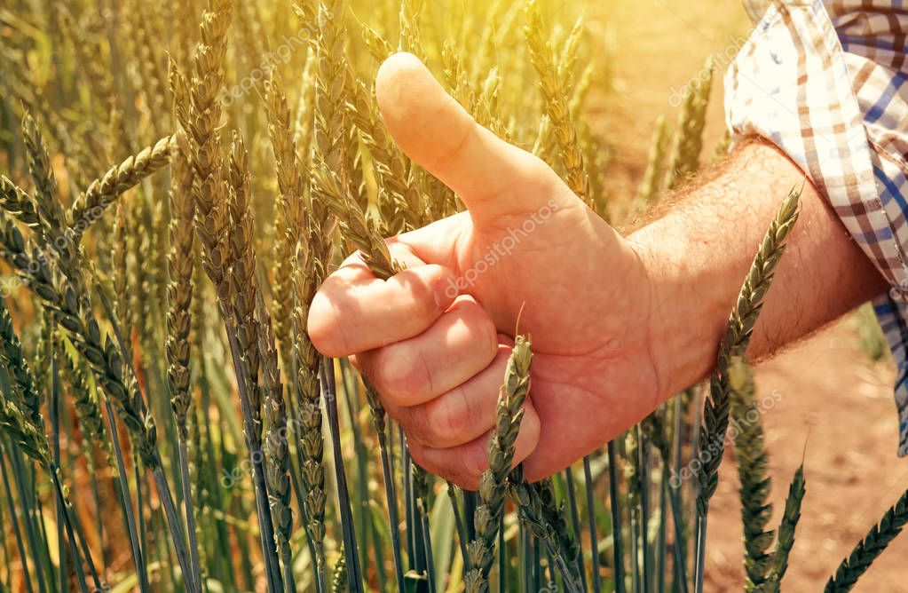 Satisfied farmer agronomist gesturing thumbs up after analyzing spelt wheat growth in field during the control examination of cereal plant development
