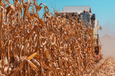 Modern combine harvester is harvesting cultivated ripe corn crops in field