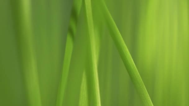 Defocus green spring grass in slow motion