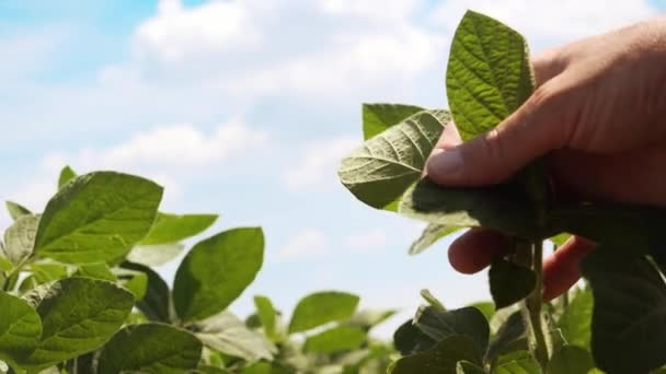 Agronom, kontrola malé sóji rostliny v obdělávané zemědělské oblasti, zblízka mužské ruky zkoumání mladých rostlinek