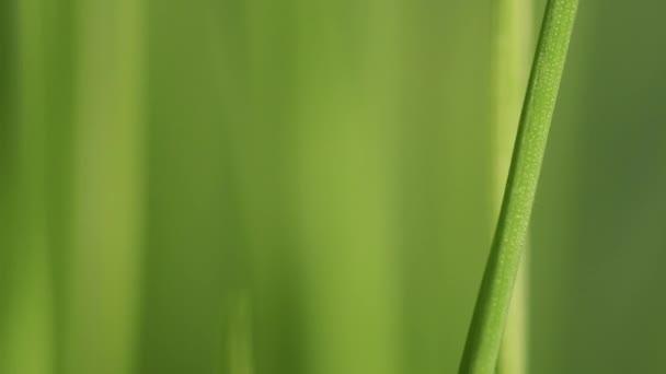 Rozostření zelené jarní trávy v pomalém pohybu
