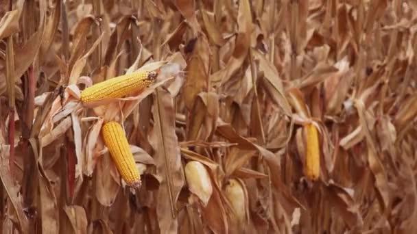 Ripe corn cobs in harvest ready field on cultivated farmland plantation