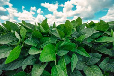 Green soya plants growing in cultivated agricultural field