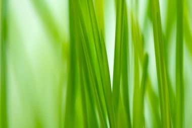 Defocus green spring grass as abstract natural background