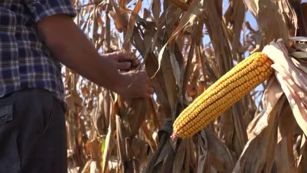 Farmář zkoumání sklizeň připravena Kukuřičný klas v obdělávané pole