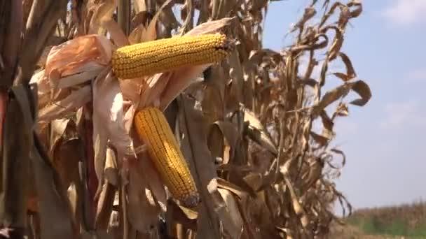 Zralé Kukuřičný klas v obdělávané zemědělské pole jsem sready fot sklizně sezónu