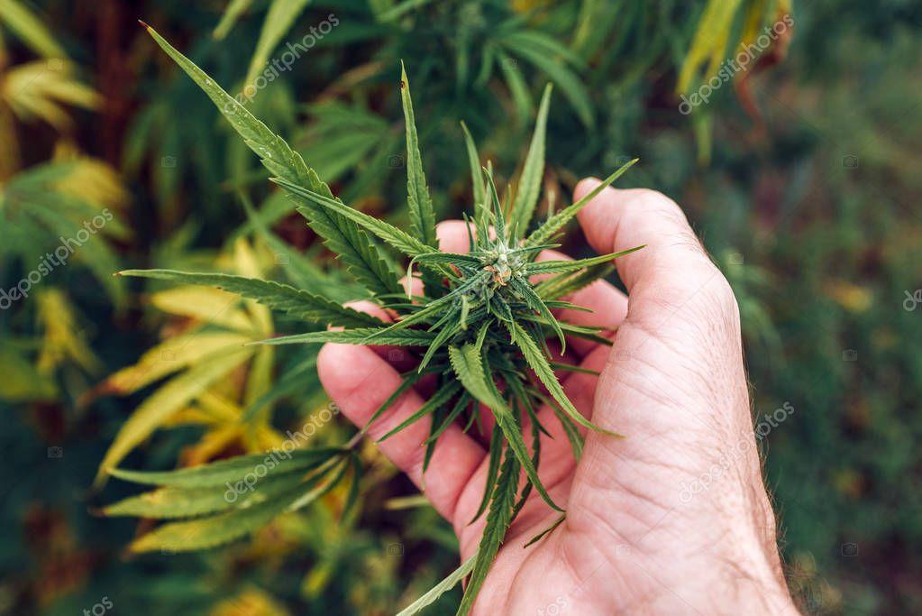 Agronomist examining industrial hemp plant flower