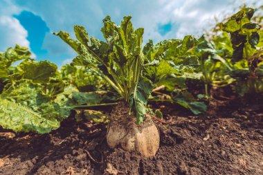 Sugar beet root crop in ground