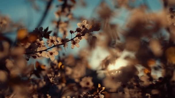 Wild cherry tree blossom in spring sunset, beauty in nature, handheld cinematic b-roll footage