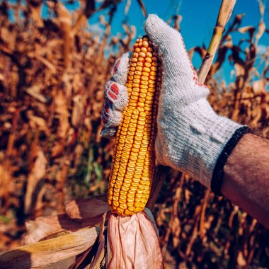 Hand picking corn cobs in field