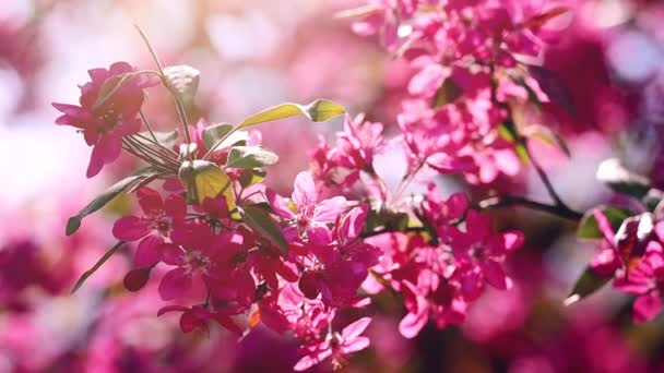 Pink flowers of blossoming cherry tree in spring, selective focus