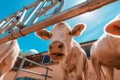 Lustige neugierige Kühe auf Milchviehfarm
