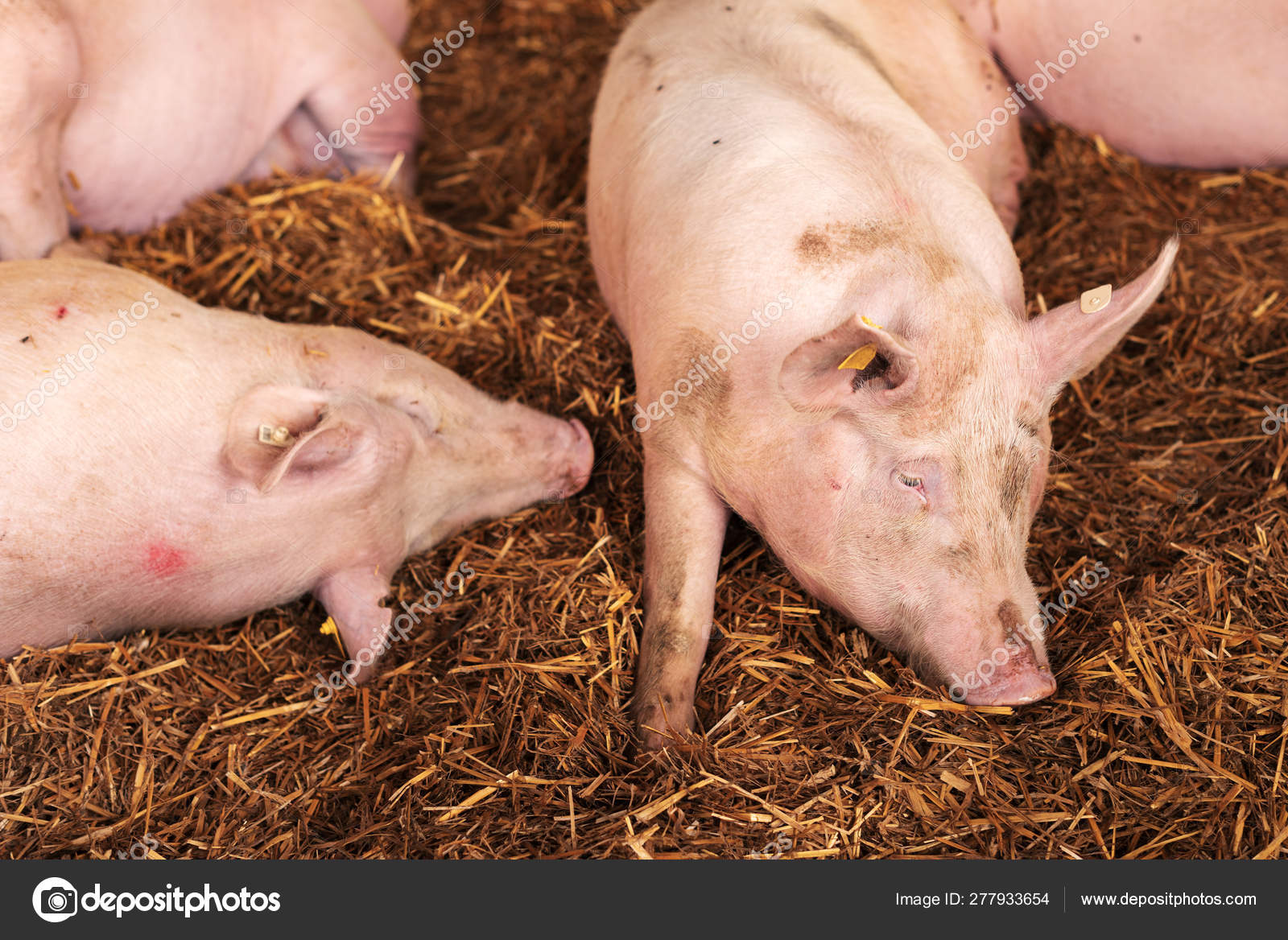 American Yorkshire Female Pigs In Pen Stock Photo