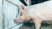 Pig in a breeding farm pigsty