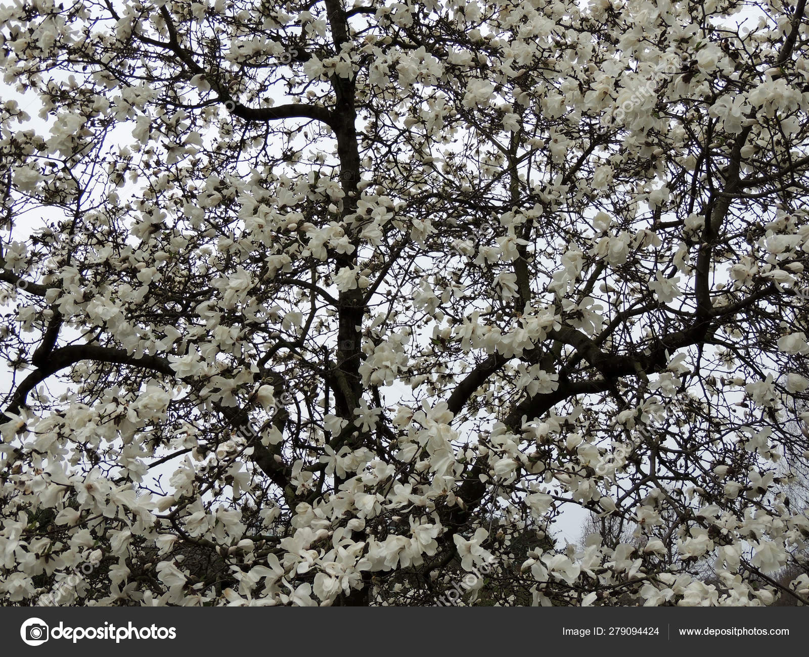 Magnolia Lebner Magnolia Loebneri Merrill Flowering Stock Photo