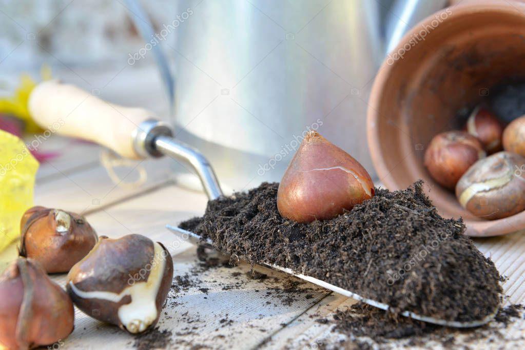 tulip bulb put on a trowel full of soil on a garden table
