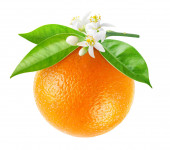 Isolated orange fruit hanging on a branch