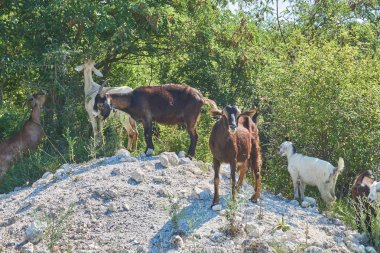 Grass-Fed Goats On Pasture in Italy in bright sunny day