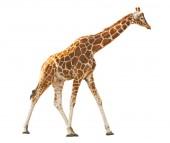 Zsiráf elszigetelt fehér háttér