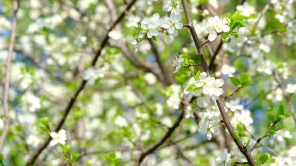 pobočka Třešňové květy
