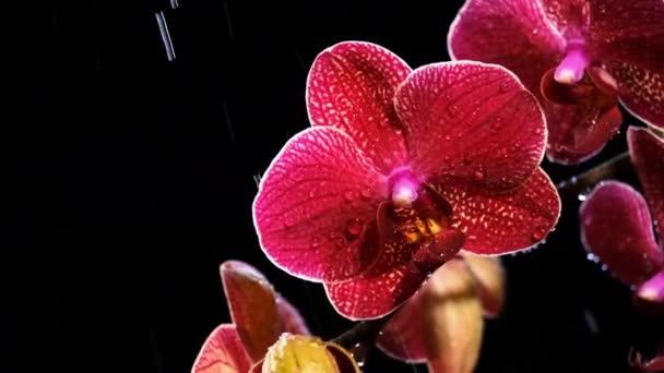 Krásná červená orchideje na černém