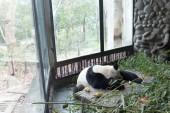 Fotografie panda in Chengdu city zoo