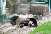 Photo panda in Chengdu city zoo