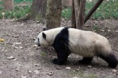 Photo panda in Chengdu city zoo