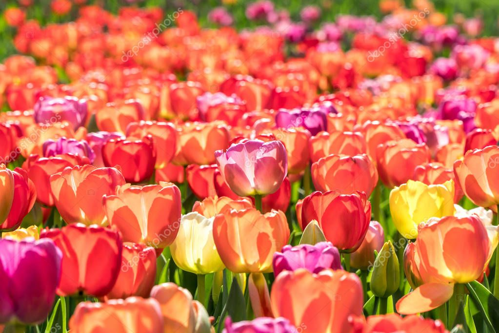 Many colorful tulips in a garden