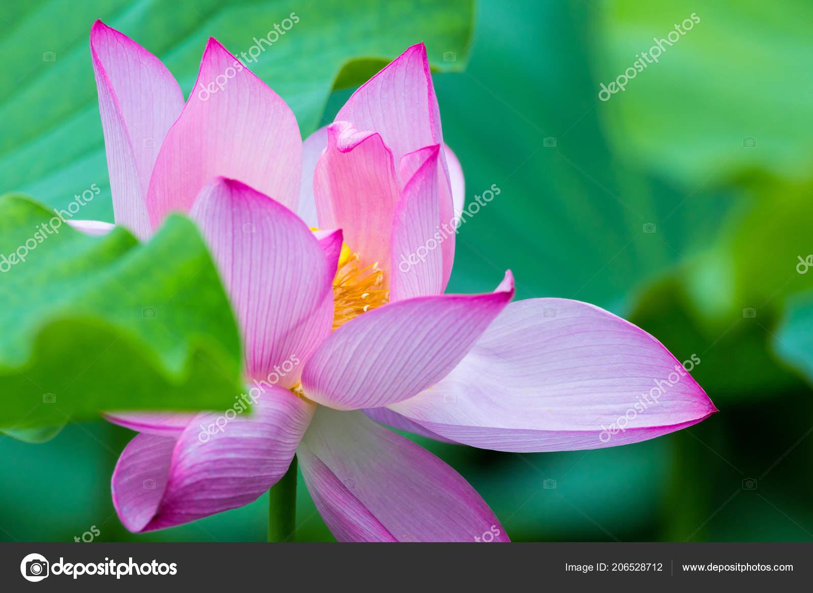 Primo piano del fiore loto paesaggio astratto estate foto stock primo piano del fiore di loto paesaggio astratto di estate foto di chungking izmirmasajfo