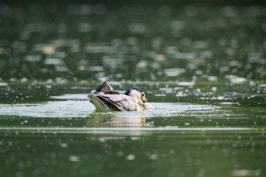 black-crowned night heron prey closeup, beautiful water bird