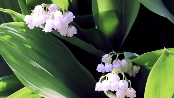beautiful white flowers of the lily of the valley