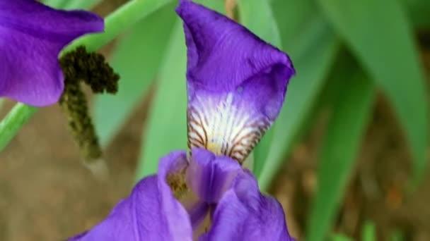 krásné čerstvé zahradní květiny iris jako součást přírody