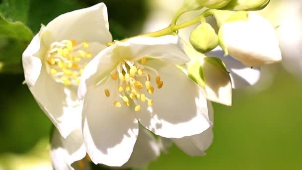 krásné čerstvé květiny na větvích jasmín-bush