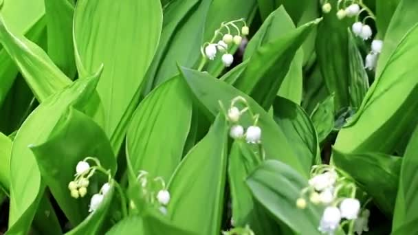 beautiful forest lily of the valley as an element of wildlife