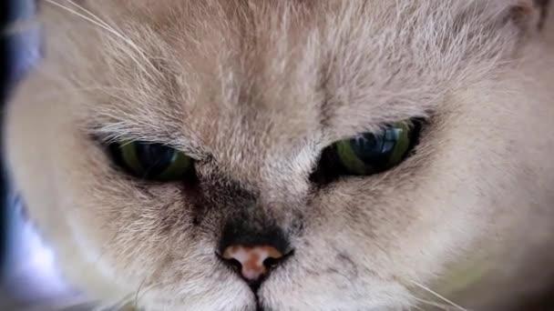 figyelmes néz a szem, a szürke régi macska