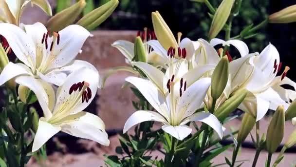 vítr třese jako ozdoba zahrady okrasné květiny lilie